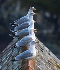 Cornish Seagulls