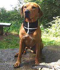 Cornish Dog Bandana X-Large 54cm to 60cm