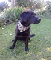 Cornish Dog Bandana Large 38cm to 43cm