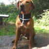 Cornish Dog Bandana X-Large 54cm to 60cm
